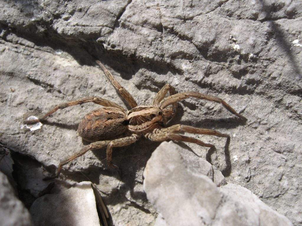Тарантул Lycosa tarantula на камнях