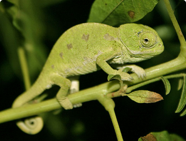 Озеленение террариума для хамелеона Хамелеон обыкновенный
