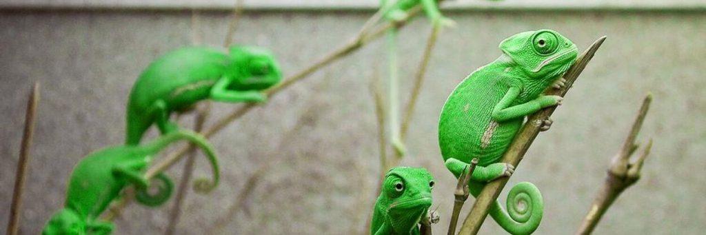 Детеныши Йеменского хамелеона